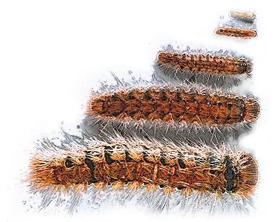 Chenilles - Papillons